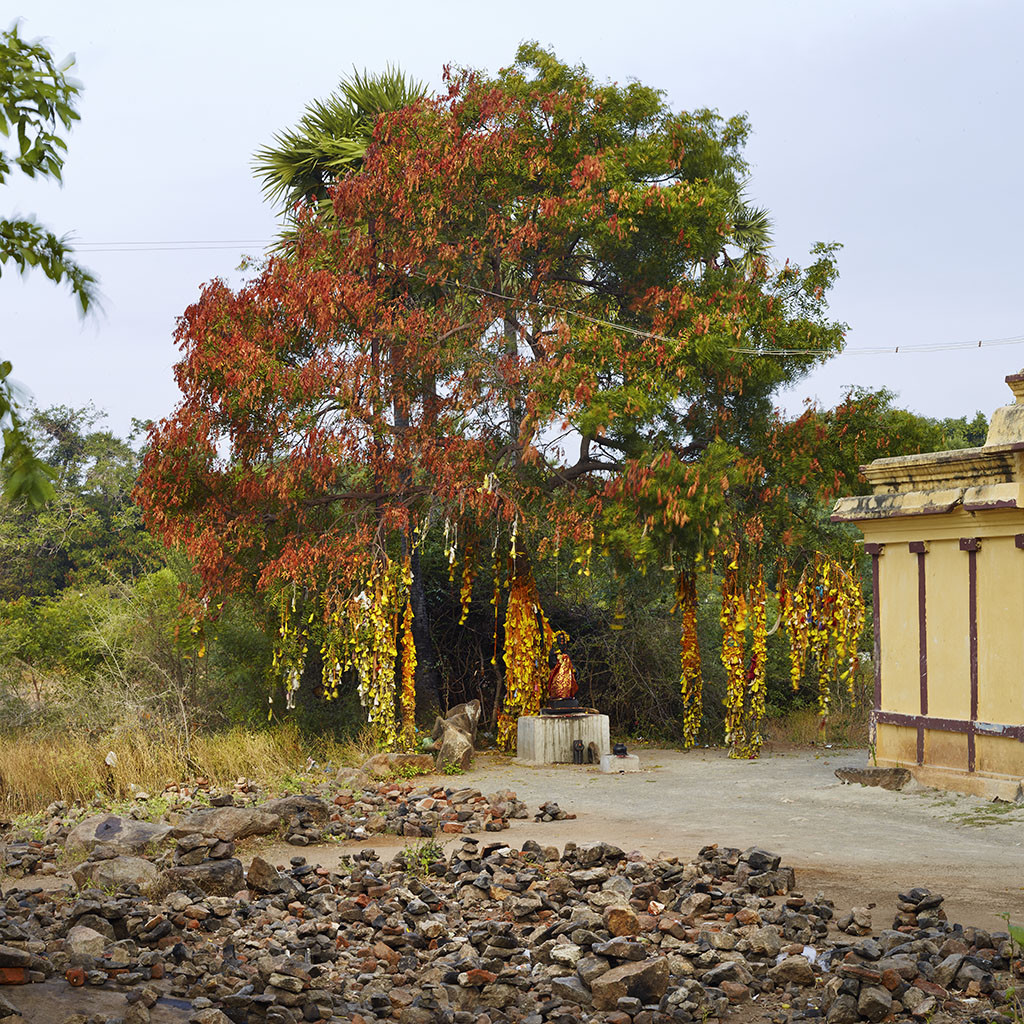Sacred tree. Giri Valam road, Tiruvannamalai, Tamil Nadu, India, 2014
