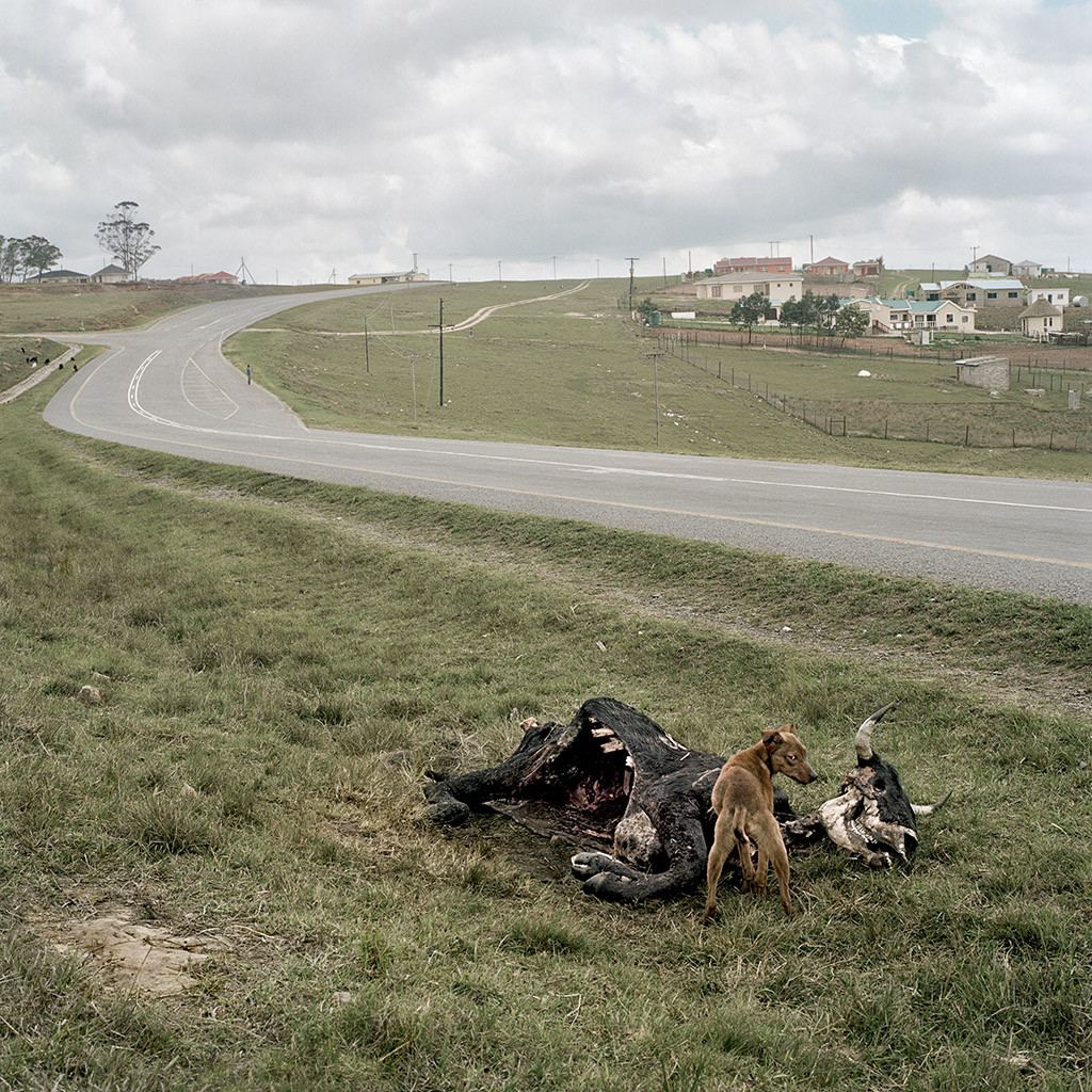 Dead Nguni beside the road outside Umtata. Eastern Cape, 21 October 2009