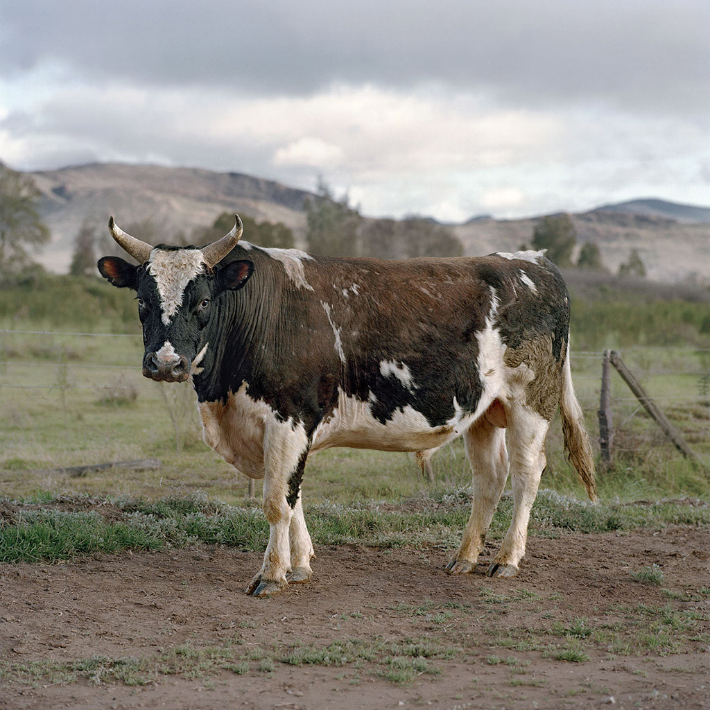 Holstein and Nguni cross bull. Touws River, Karoo, 2 April 2009