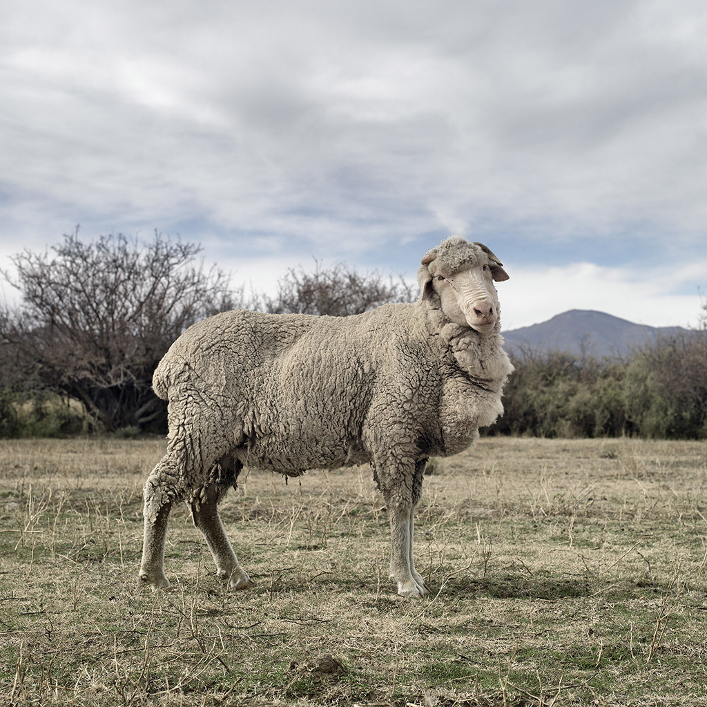 Merino sheep. Graaff-Reinet, Eastern Cape, 15 May 2010