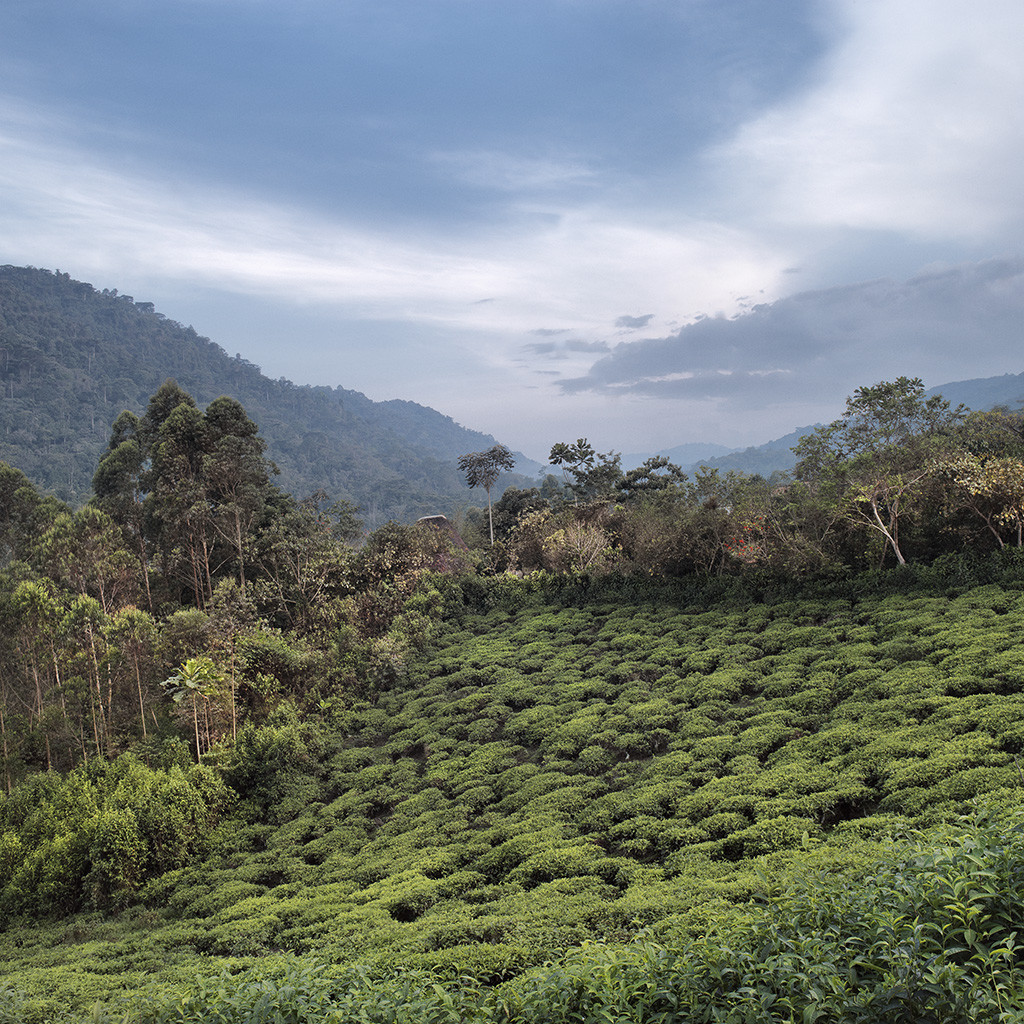 Tea field. Rugyeyo, Kayonsa, Kanungu district, Western Region, Uganda, 2012