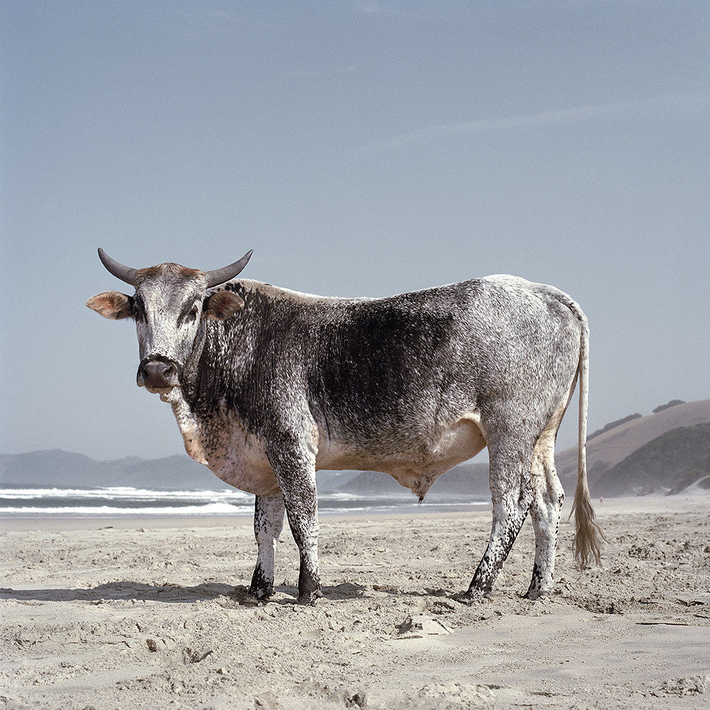 Xhosa Nguni bull on the shore. Mgazi, Eastern Cape, 19 May 2010