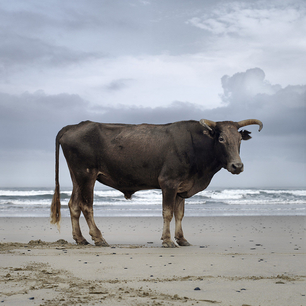 Xhosa bull on the shore. Mqaleni, Eastern Cape, 18 May 2010