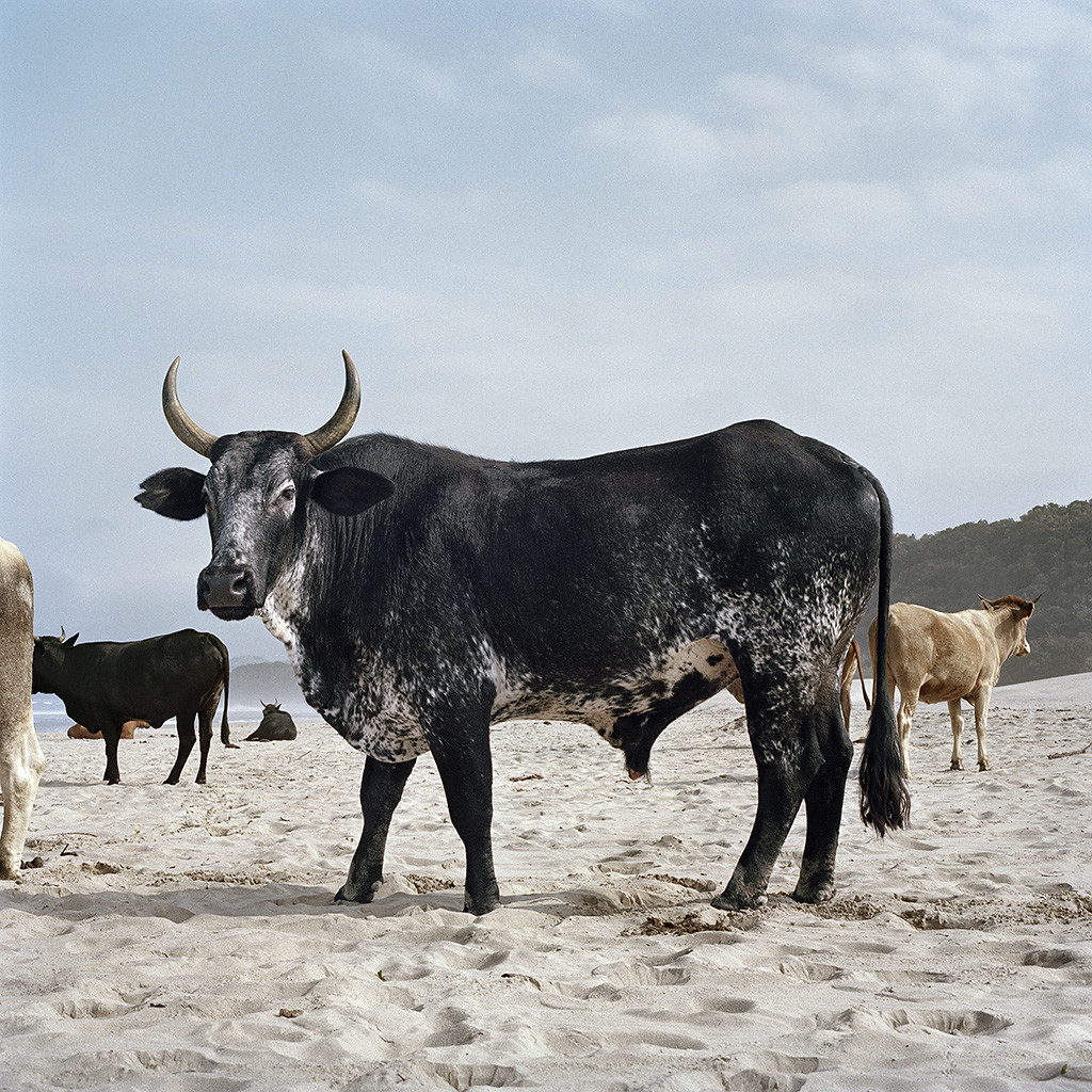 Xhosa ox on the shore. Mgazi, Eastern Cape 19 May 2010