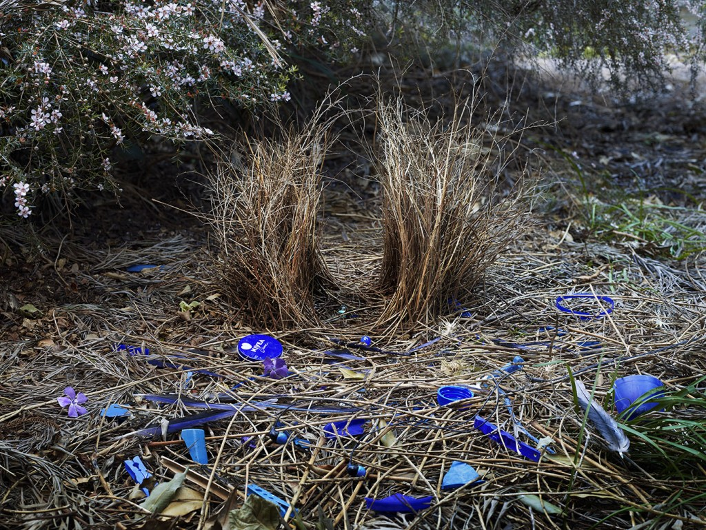 Satin Bower 5. Bunya Mountains, Queensland, Australia, 2014