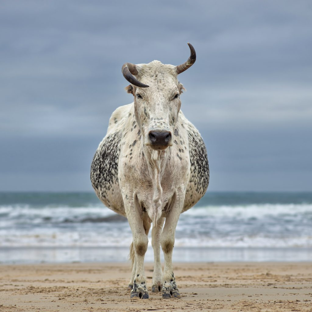 Xhosa Nguni cow on the shore. Qoloha, Eastern Cape, South Africa, 16 April 2018