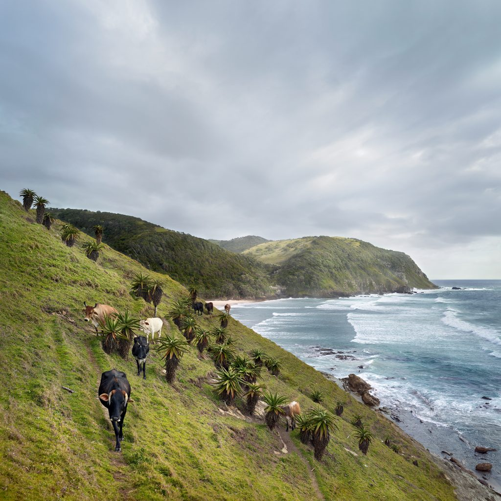 Xhosa cattle at Sinangwana river mouth. Eastern Cape, South Africa, 11 January 2019