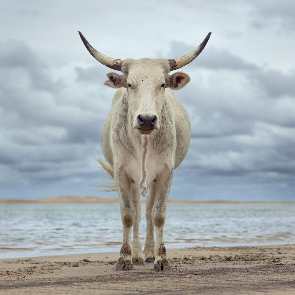 Xhosa cow on the shore. Kei river mouth, Eastern Cape, South Africa, 9 December 2019