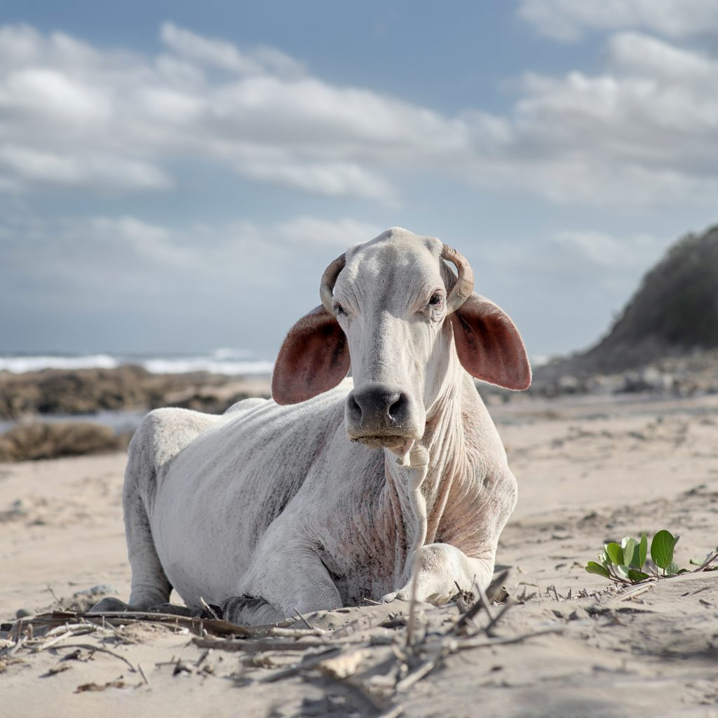 Xhosa cow sitting on the shore. Mnenu river mouth, Eastern Cape, South Africa, 4 December 2019