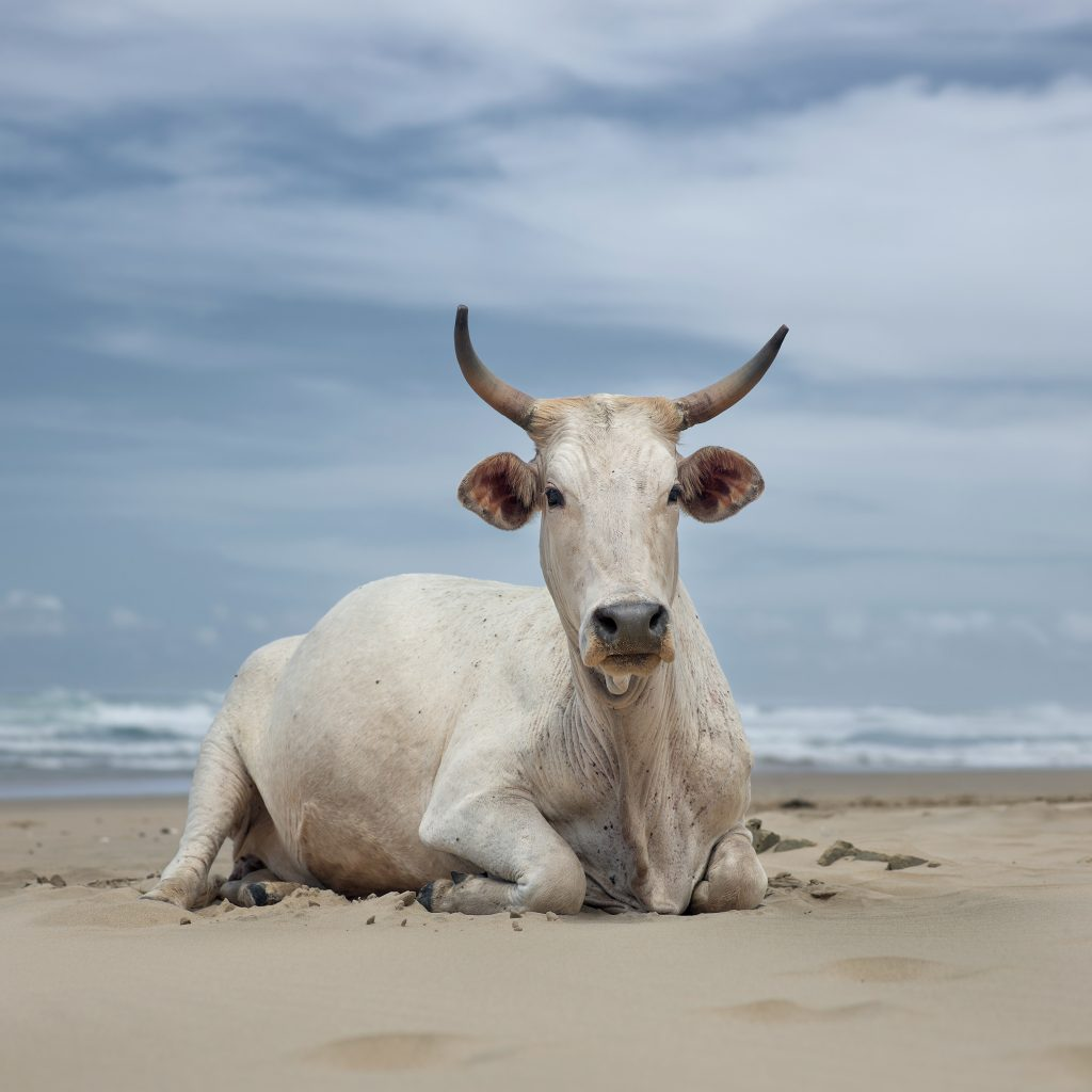 Xhosa cow sitting on the shore. Noxova, Eastern Cape, South Africa, 5 December 2019