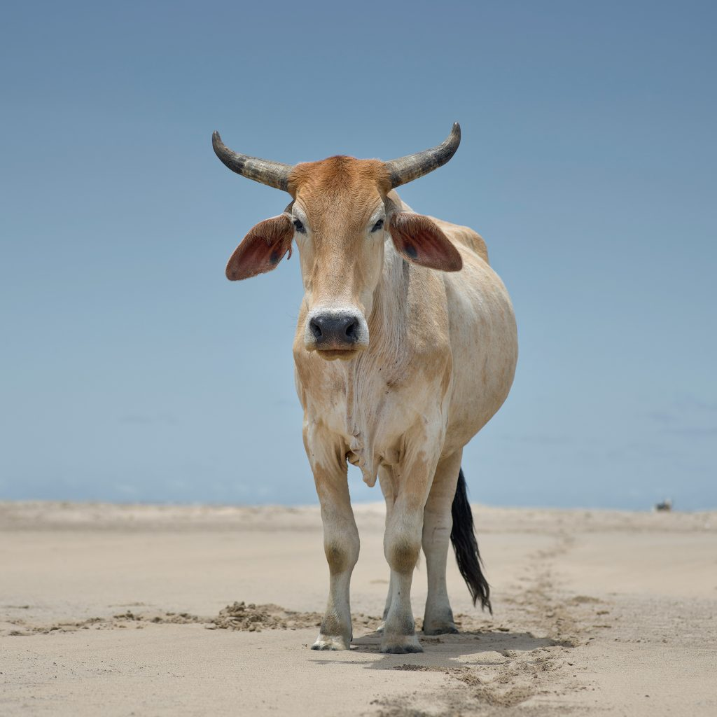 Xhosa ox on the shore. Umthata river mouth, Eastern Cape, South Africa, 5 December 2019