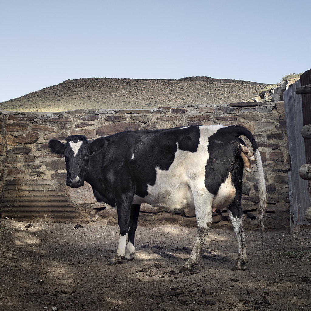 Cow struggling to give birth. The calf died after three days, and the cow was shot after this photograph was taken. Richmond, Northern Cape, 9 May 2010