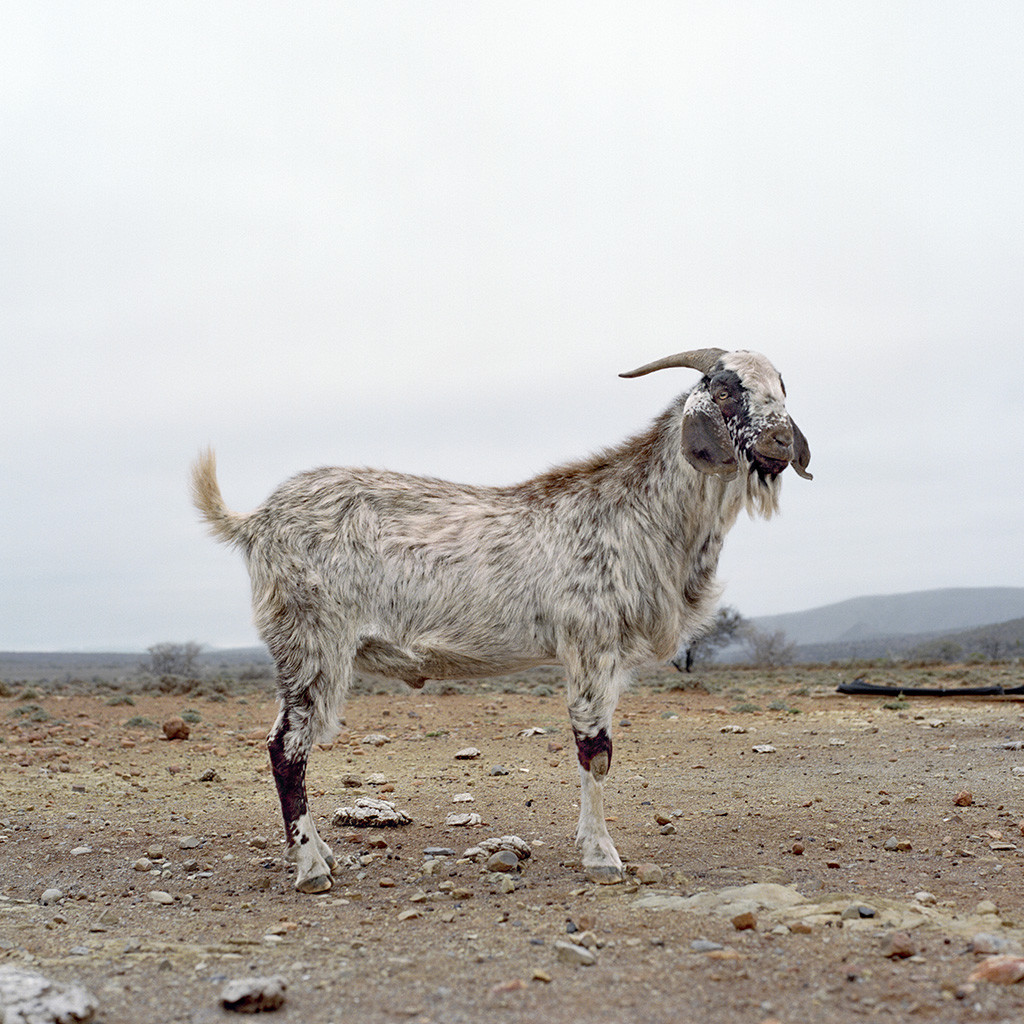 Nguni goat facing to the right. Erasmuskloof, Eastern Cape, 17 October 2009