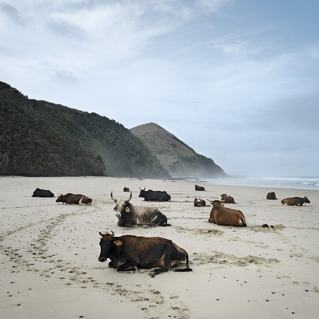 Xhosa cattle on the shore. Mgazi, Eastern Cape, 19 May 2010