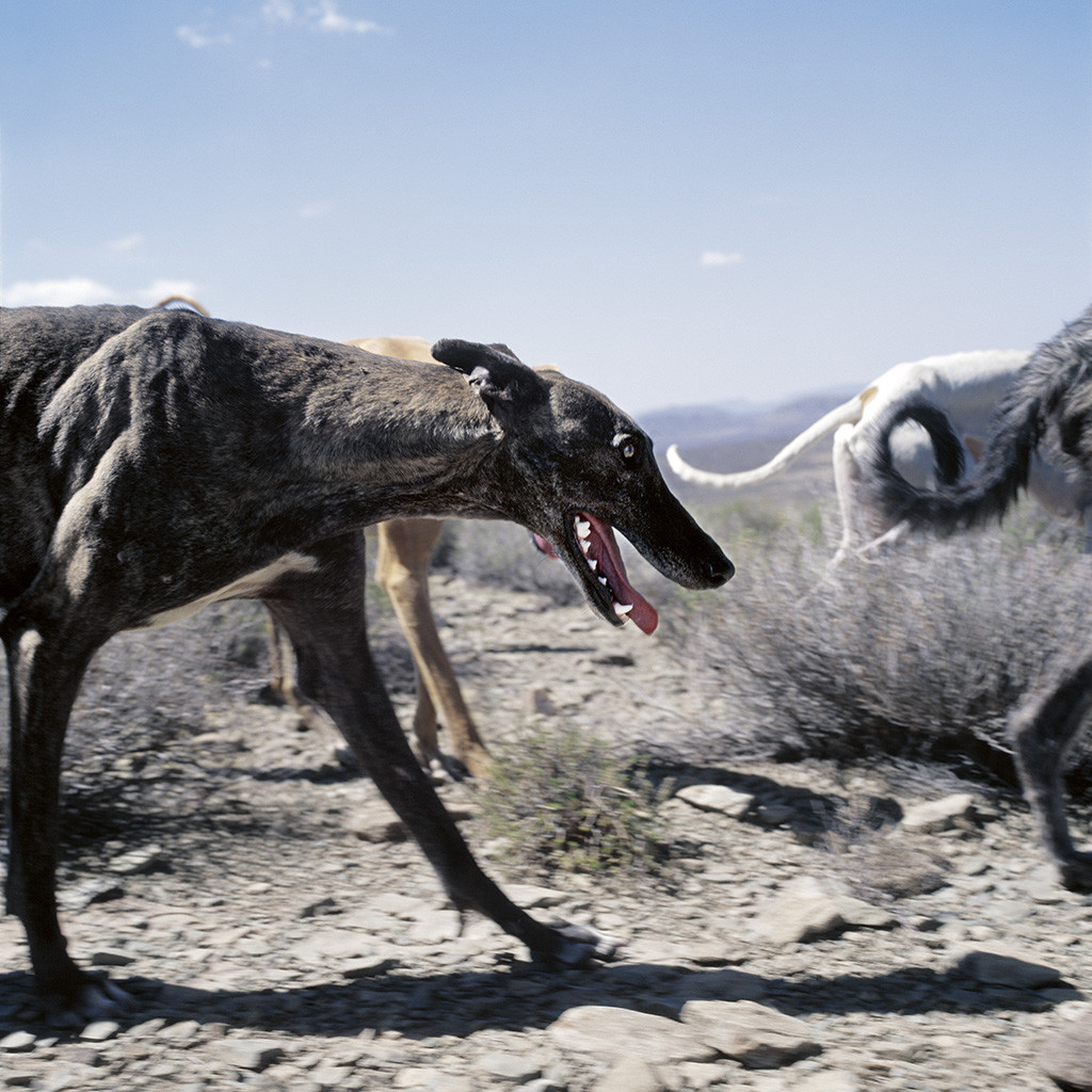 Pack of dogs hunting. Richmond, Northern Cape, 25 January 2009